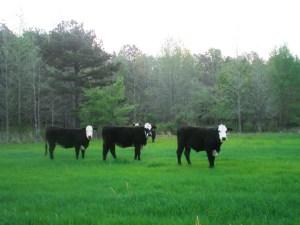 Cows Spring Grass Tetany