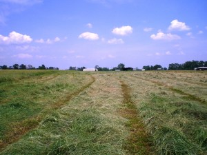 Windrows of cut grass, curing in the sun, waiting to be baled in the coming days