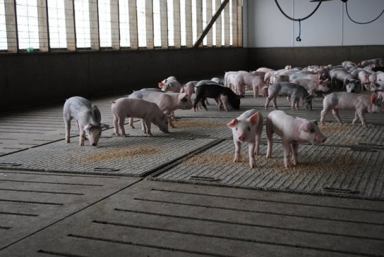 Pig Farmers Care For Their Animals