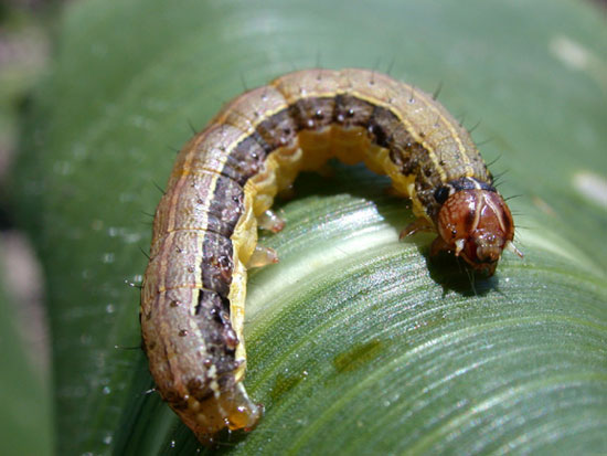 Armyworms Impact Southern Pastures