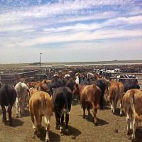 Ask A Farmer: What is a cattle feedlot?