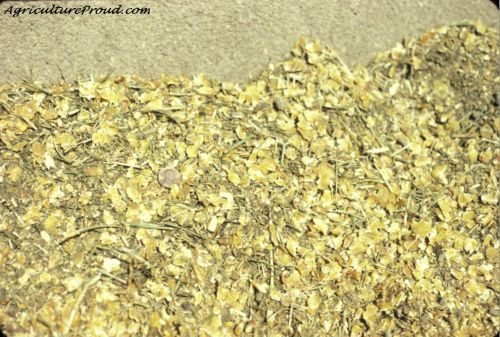 cattle feed with corn
