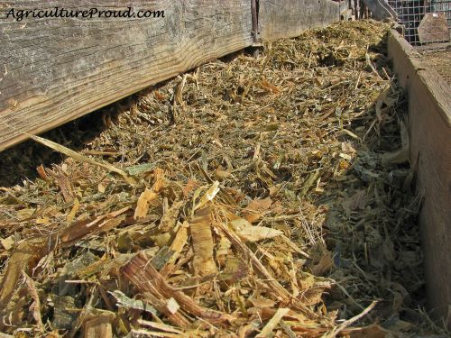 cattle feed with corn on farm