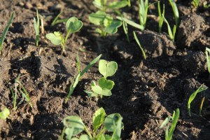 radish seedling carolyncares