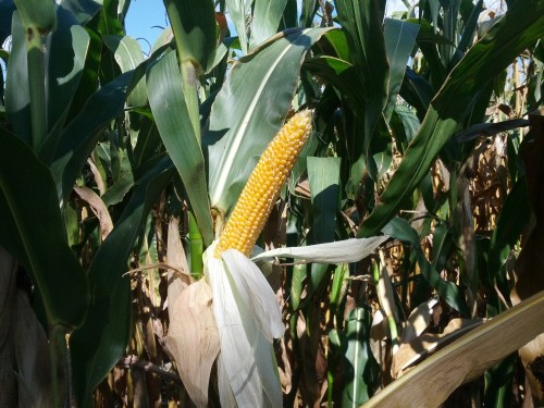 Farmers leaving dying corn left in field