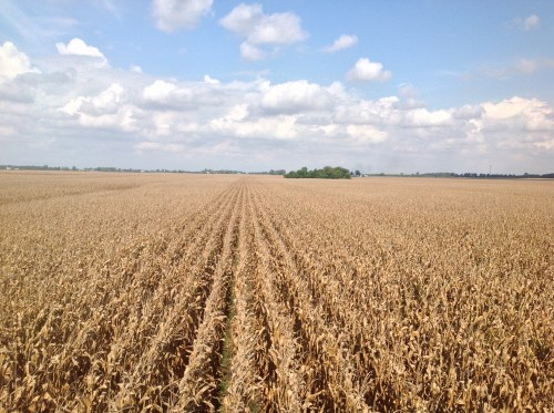 Farmers leave dead corn in field to dry