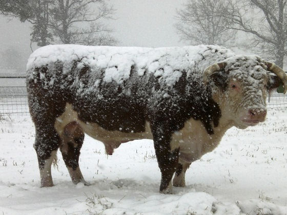 bull in the snow cold weather farming issues