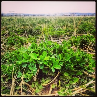 Helena Montana Alfalfa Growth April