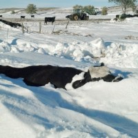 One Year After Atlas Blizzard Kills Thousands of Livestock