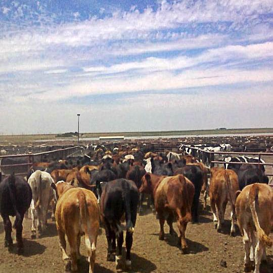 What is a cattle feedlot? | Ask a Farmer