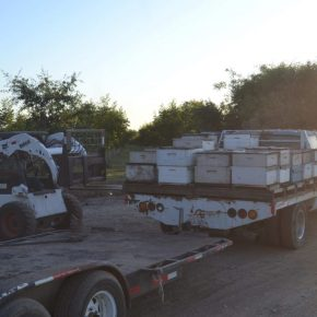 Bienenvölker werden in Amerika zur Sonnenblumenbestäubung abgeladen