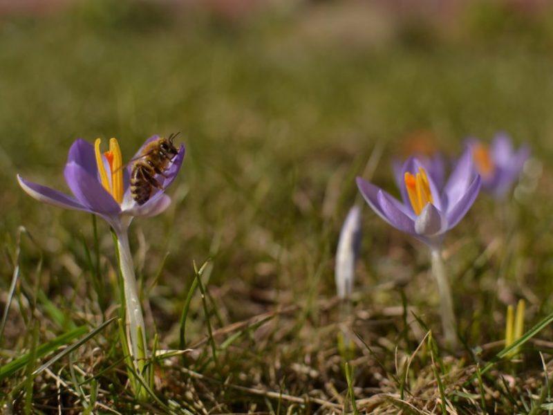 Biene sitzt auf Krokus