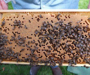 Bienenwabe Deutsch Normal Maß mit Brut