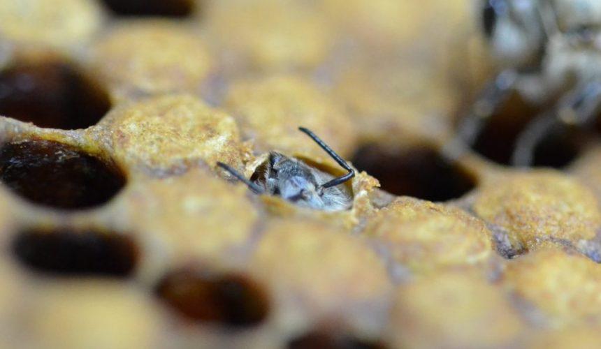 Eine Honigbiene schlüpft