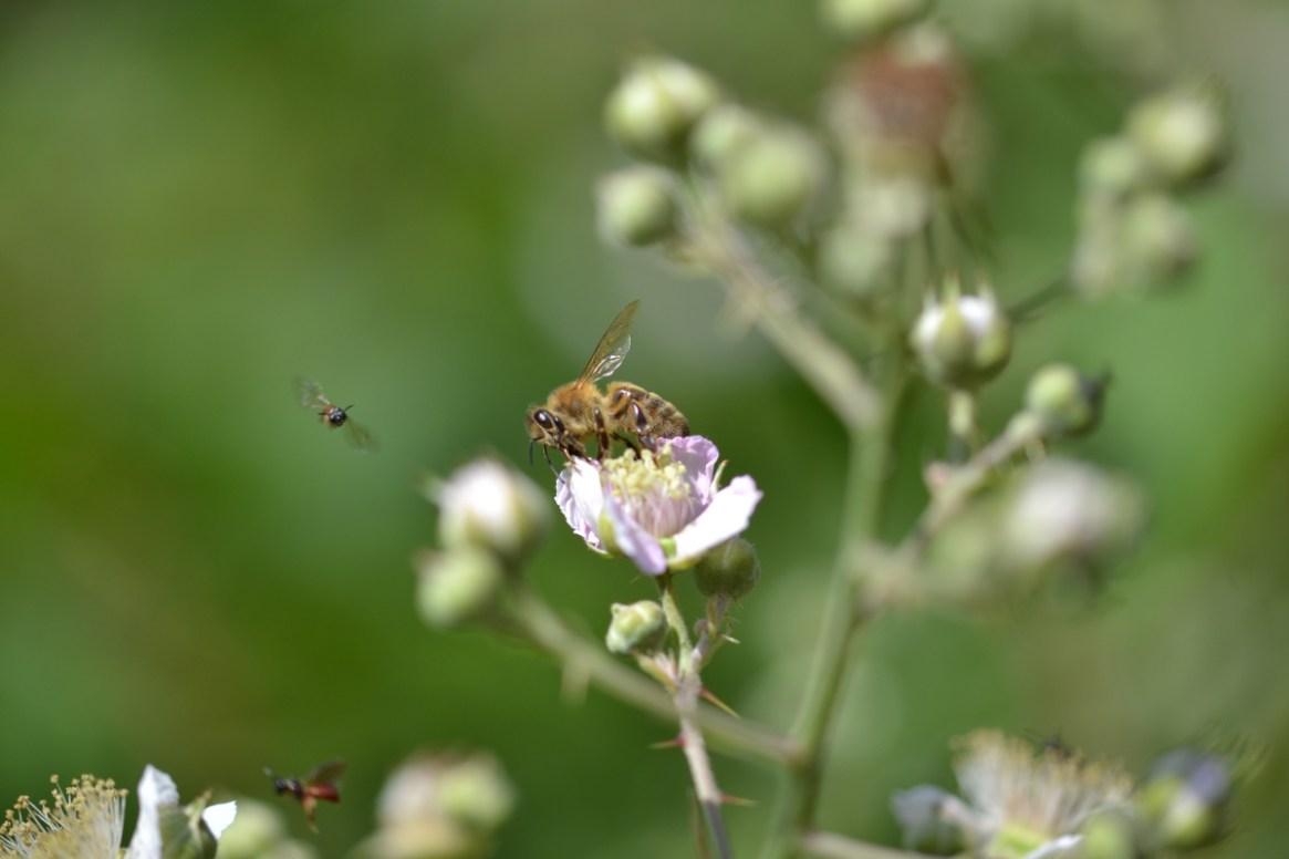 Honigbiene auf Brombeere mit Wildbienen