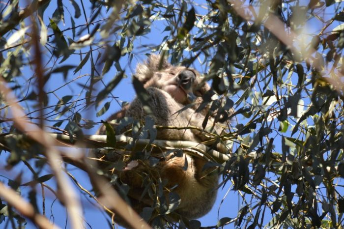 Koala hängt im Eukalyptusbaum