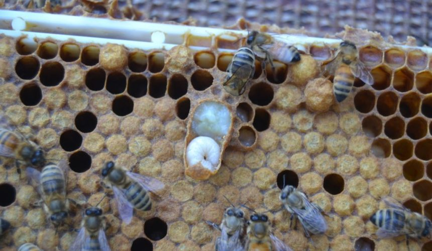 Querschnitt Weiselzelle Bienenkönigin