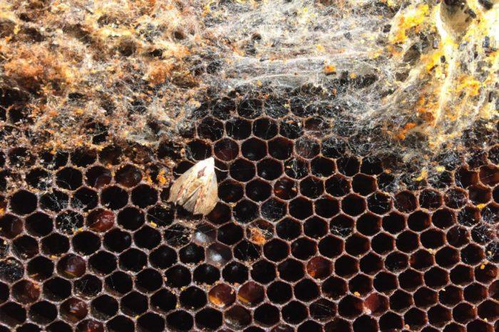 Wachsmotte auf dunkler Wabe mit Weben
