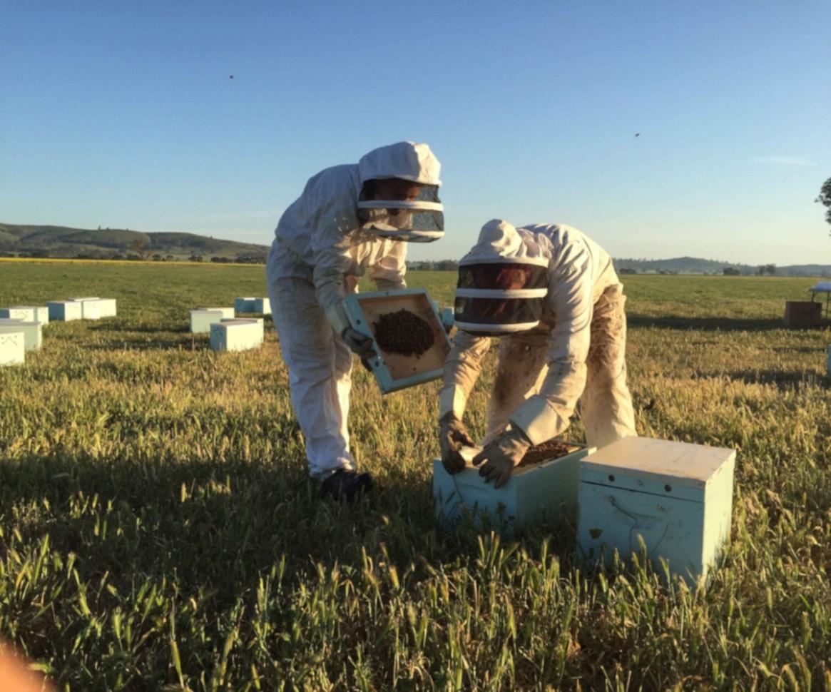 Zwei Imker halten Bienen beim Sonnenuntergang