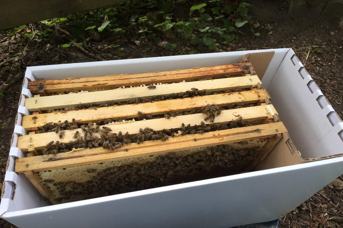 Ein 5-Waben Bienen Ableger in einer Versandkiste