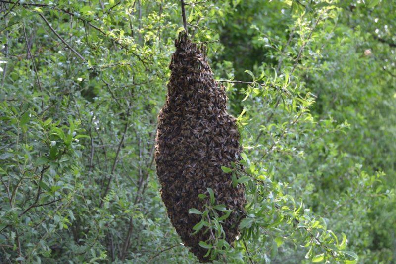 Ein Bienenschwarm hängt in einem Baum