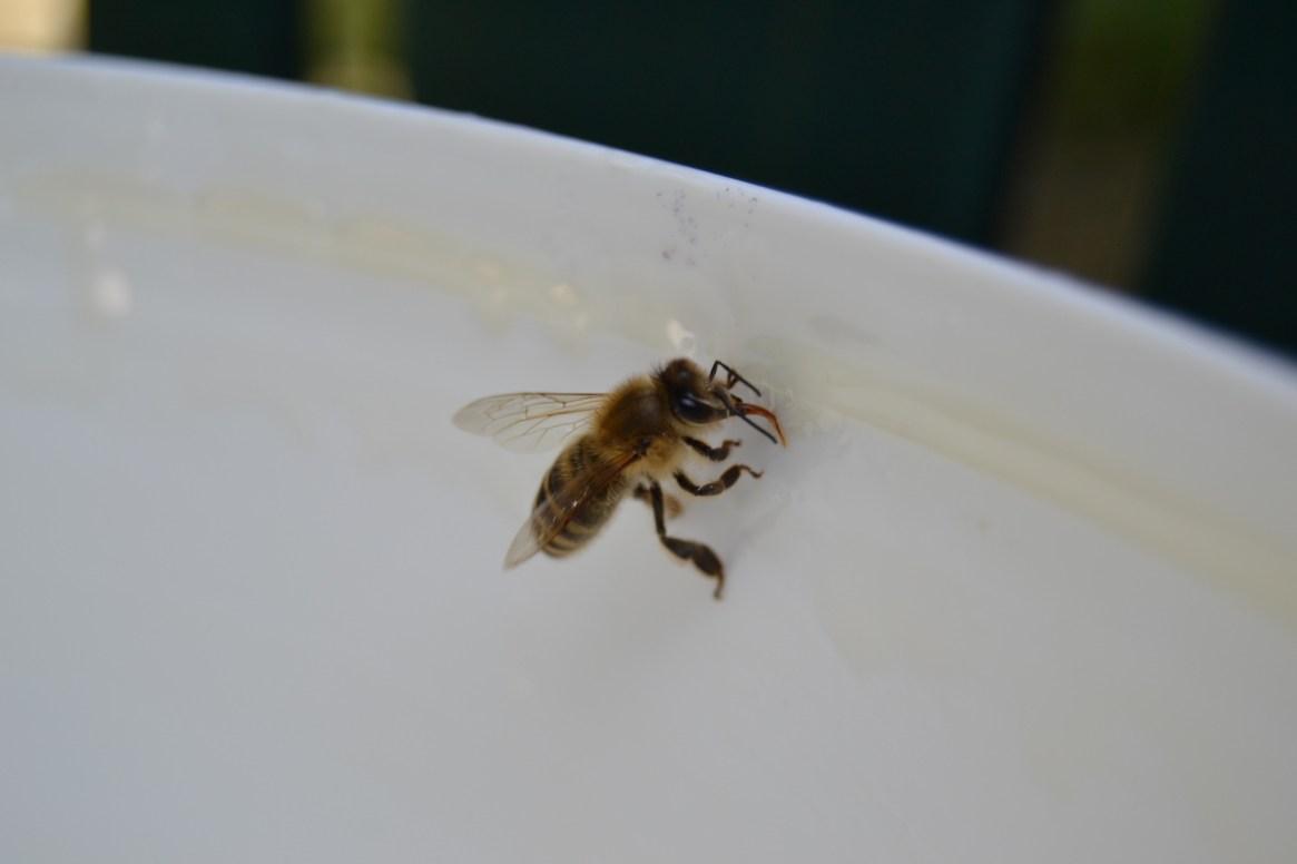 Eine Honigbiene schleckt Futtersirup auf