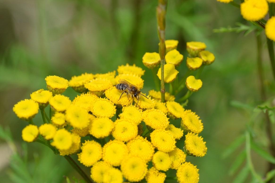 Wildbiene auf gelbem Strauch