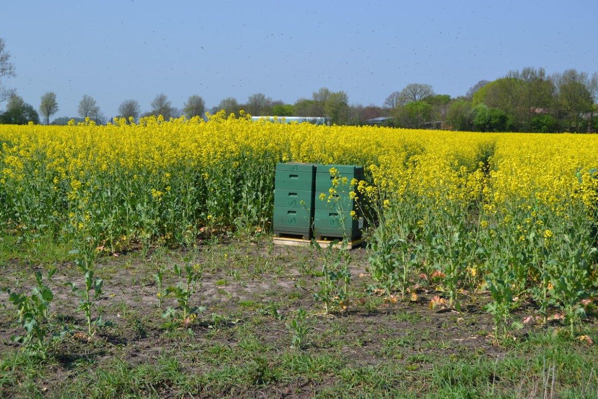 Bienenvölker stehen im Rapsfeld