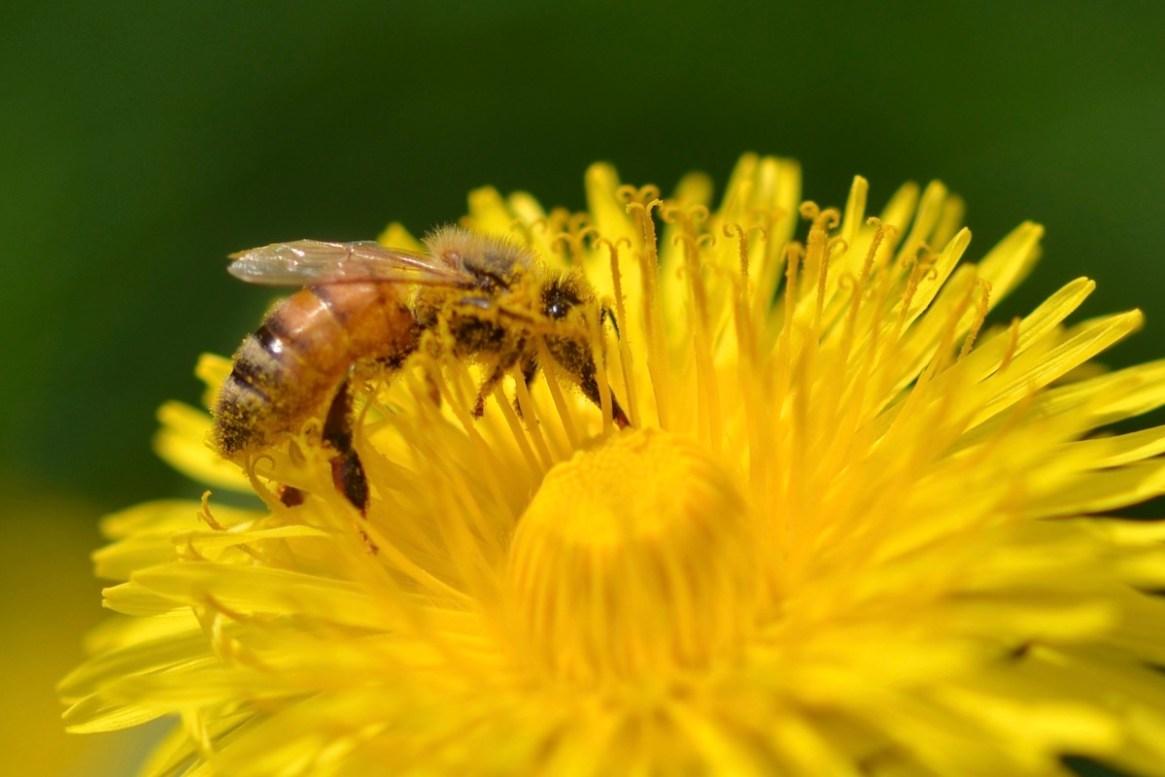 Eine Bienen sammelt Nektar am Löwenzahn