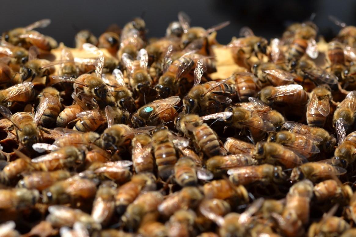 Eine Bienenkönigin legt Eier