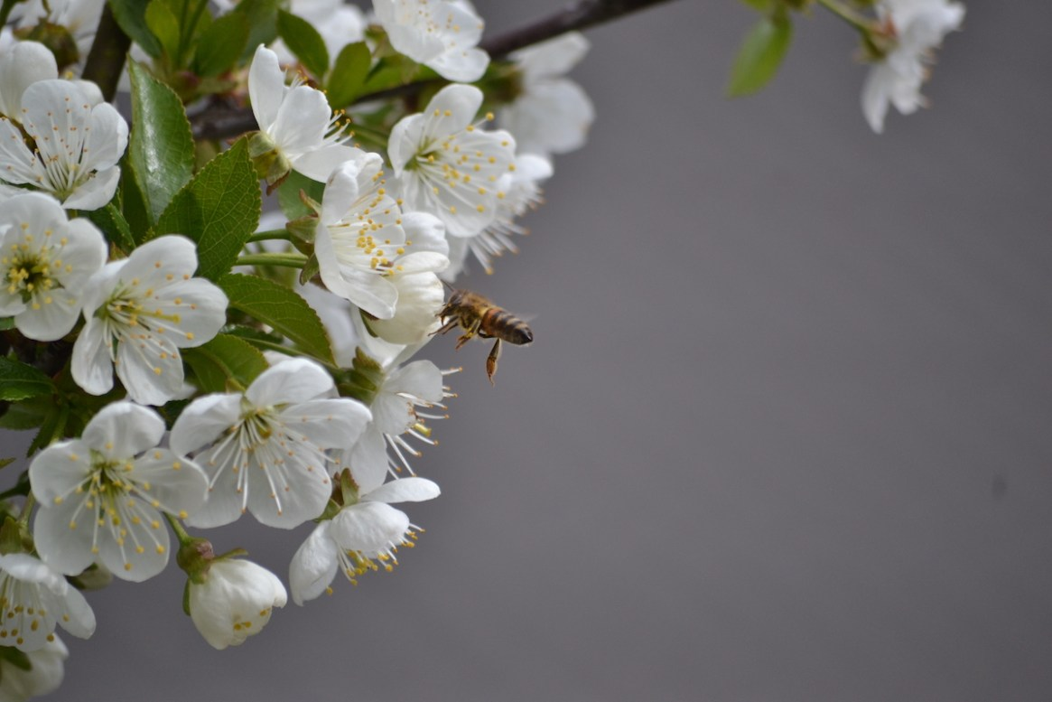Eine Honigbiene sammelt Nektar und Pollen an der Kirschblüte
