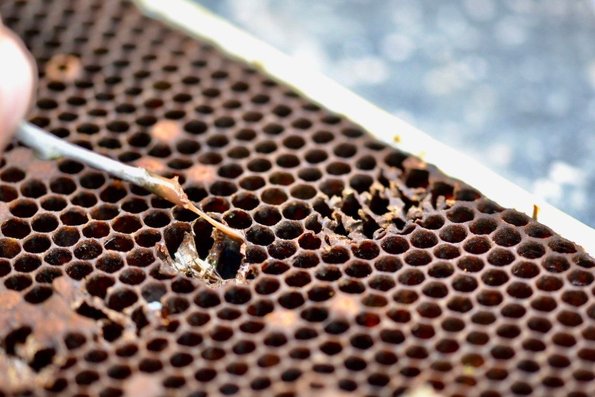 Fadenziehende Masse, ein typisches Anzeichen von Amerikanischer Faulbrut bei Honigbienen