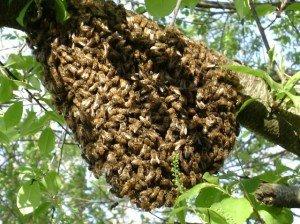 honeybee swarm in cumming georgia
