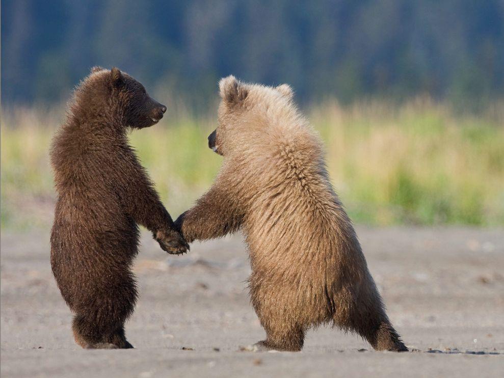 Oursons Grizzly entrain de jouer