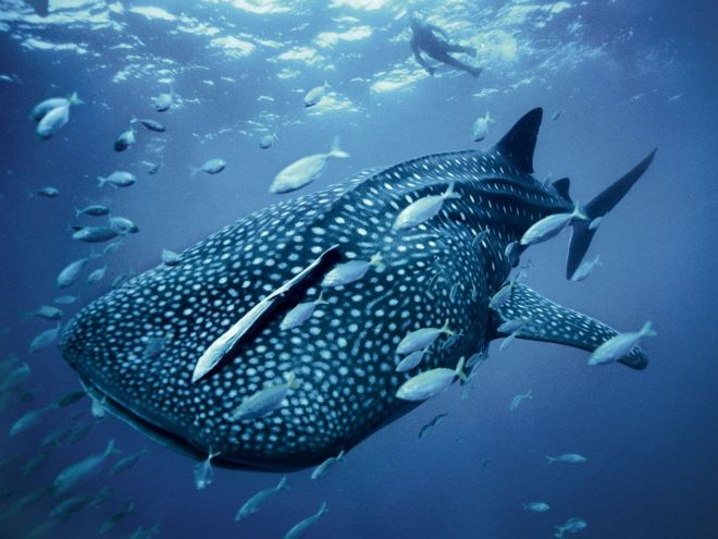 Whale Shark by Brian Skerry