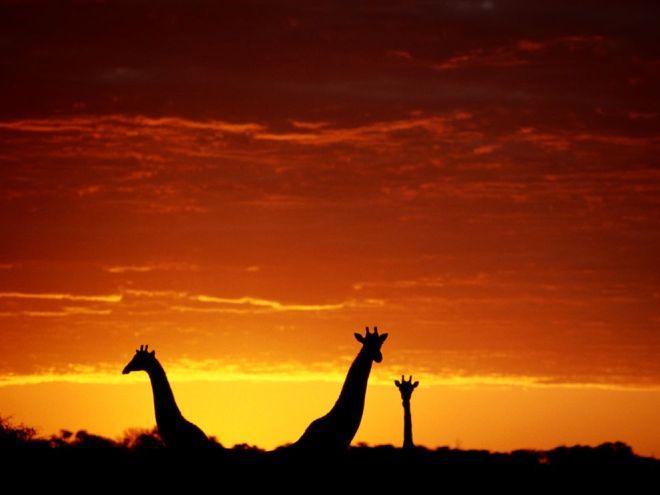 Giraffes, Botswana by Chris Johns
