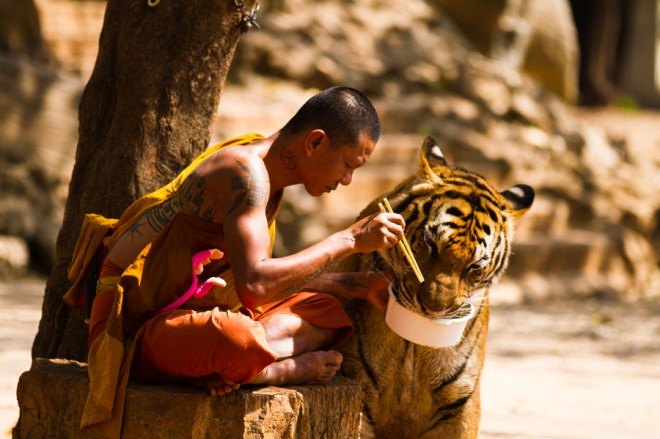 Monk  and Tiger sharing their meal. ©Wojtek Kalka