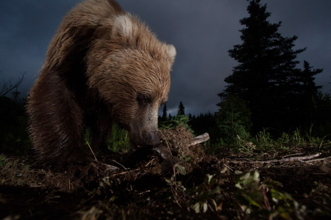 Ursus Arctos Horribilis - Jason Ching - Mention Honorable - Catégorie Nature