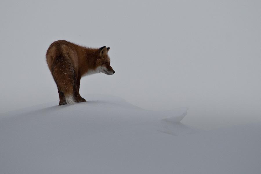 Ivan Kislov - Foxes - A fox in winter