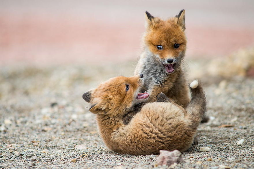 Ivan Kislov - Foxes - Fox fight