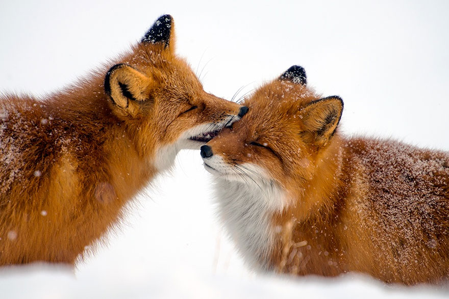 Ivan Kislov - Foxes - Kiss