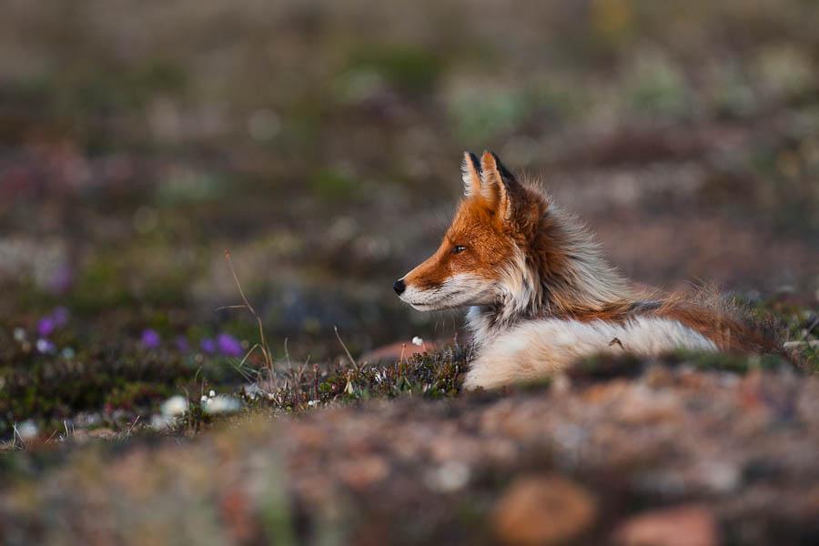 Ivan Kislov - Foxes - Untitled