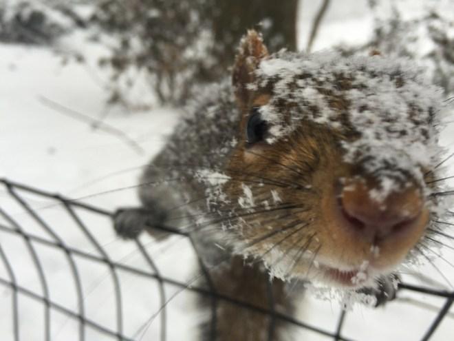 Snow Squirrel - Anthony Quintano 0004