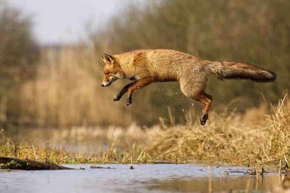 Un renard qui vole presque - Le renard des dunes - ©Laurens De Haas