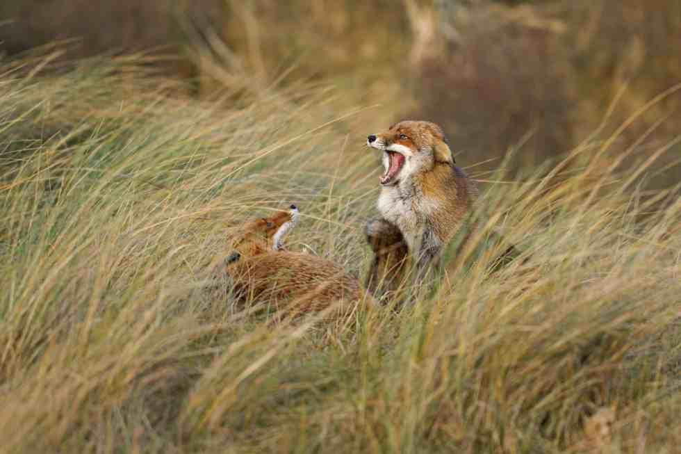 La dispute - Le renard des dunes - ©Laurens De Haas