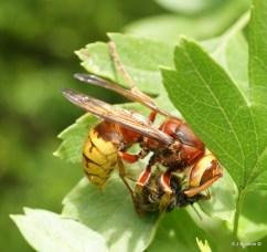 Dispatching a honeybee