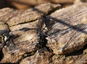 Slender wood borer wasp