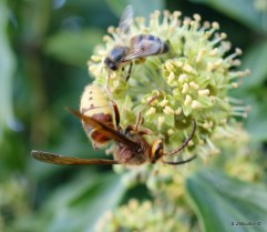 Male hornet and honey bee