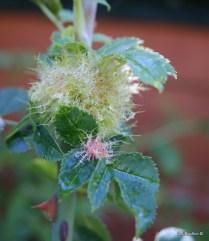 Robins Pincushion Gall (Diplolepis rosae)
