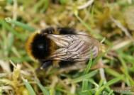Bombus hortorum (garden bumblebee)